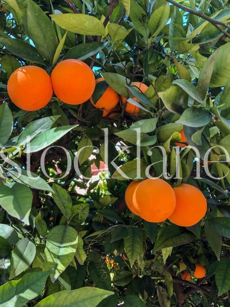 Vertical stock photo of orange tree