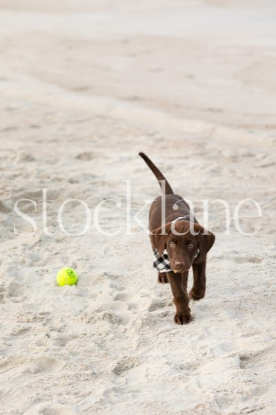 Vertical stock photo of chocolate labrador puppy at the beach.