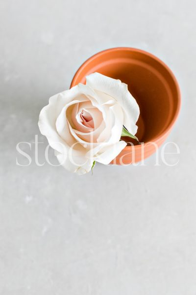 Vertical stock photo of a pale pink rose in a small flower pot.